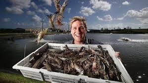 prawn-farming